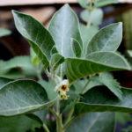 अश्वगंधा के फायदे : ashwagandha benefits