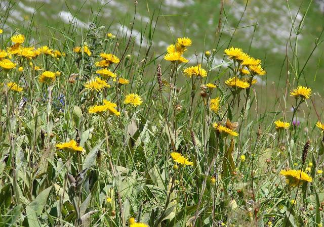inula racemosa