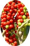 गिलोय के फल