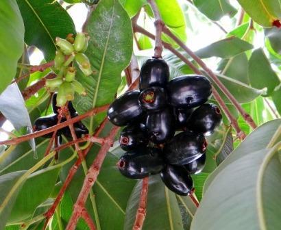दस्तों में जामुन का फल