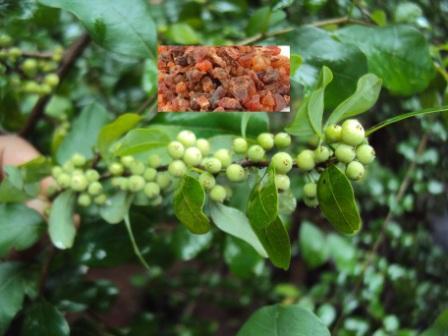 गुग्गुल का पौधा