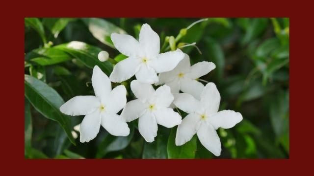 चांदनी (Crepe Jasmine) के औषधीय गुण एवं प्रभाव